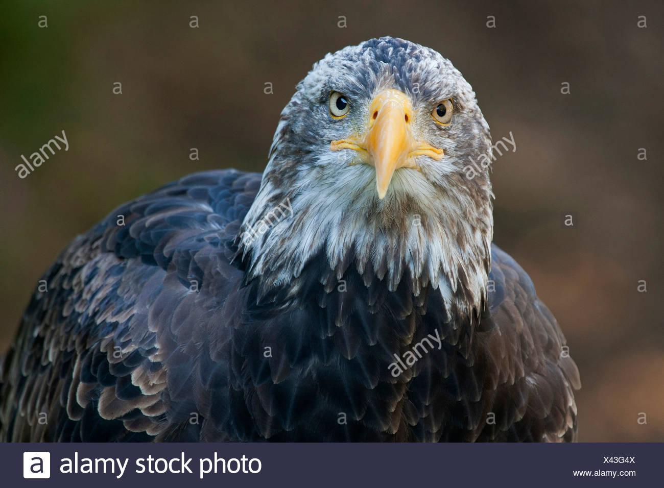 American bald eagle (Haliaeetus leucocephalus), portrait Stock Photo