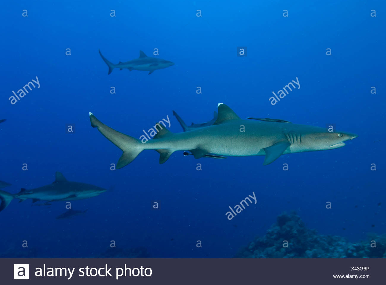 Whitetip reef shark (Triaenodon obesus) and Grey reef sharks (Carcharhinus amblyrhynchos) at North Horn, Queensland, Australia - Stock Image