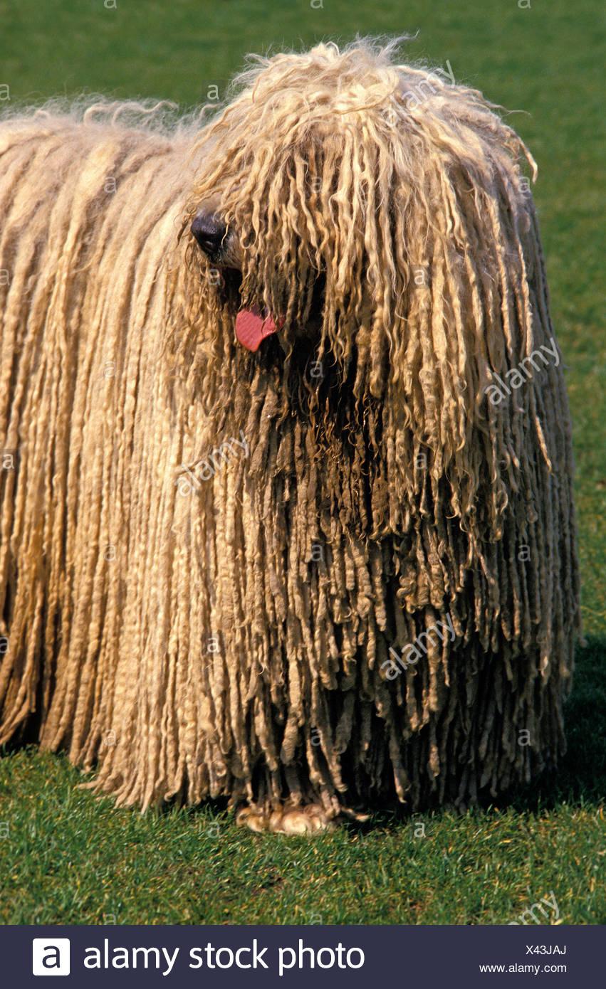 Komondor Dog Stock Photos Amp Komondor Dog Stock Images Alamy