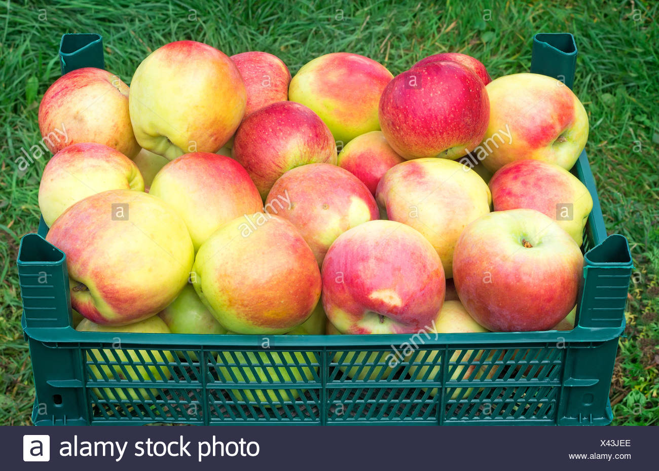 Large Mature Apples In The Container For Storage Stock Photo ...