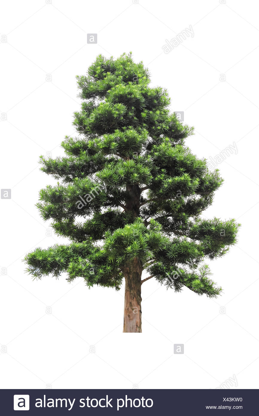 podocarpus - Stock Image