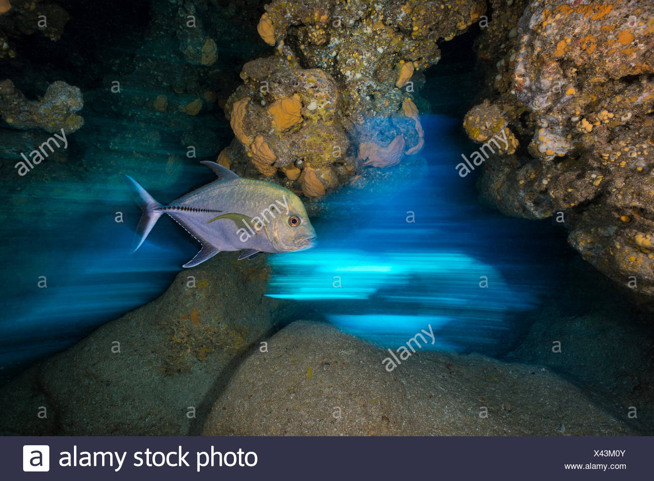 Long exposure of Black jack (Caranx lugubris) swimming through a cavern in a coral reef. East End, Grand Cayman, Cayman Islands. - Stock Image