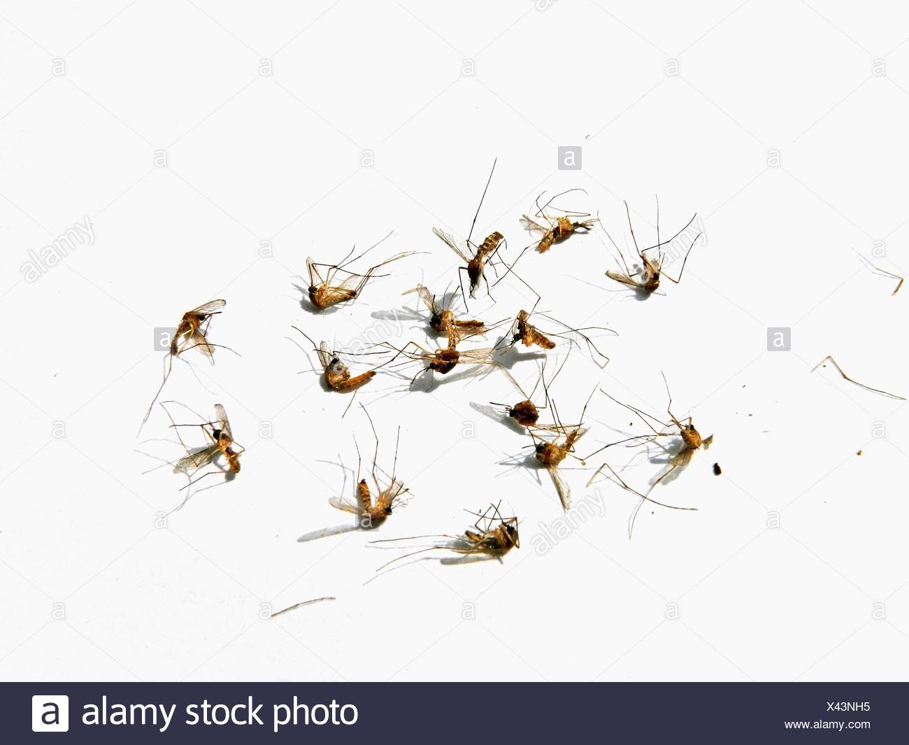 Dead Mosquitos - Stock Image