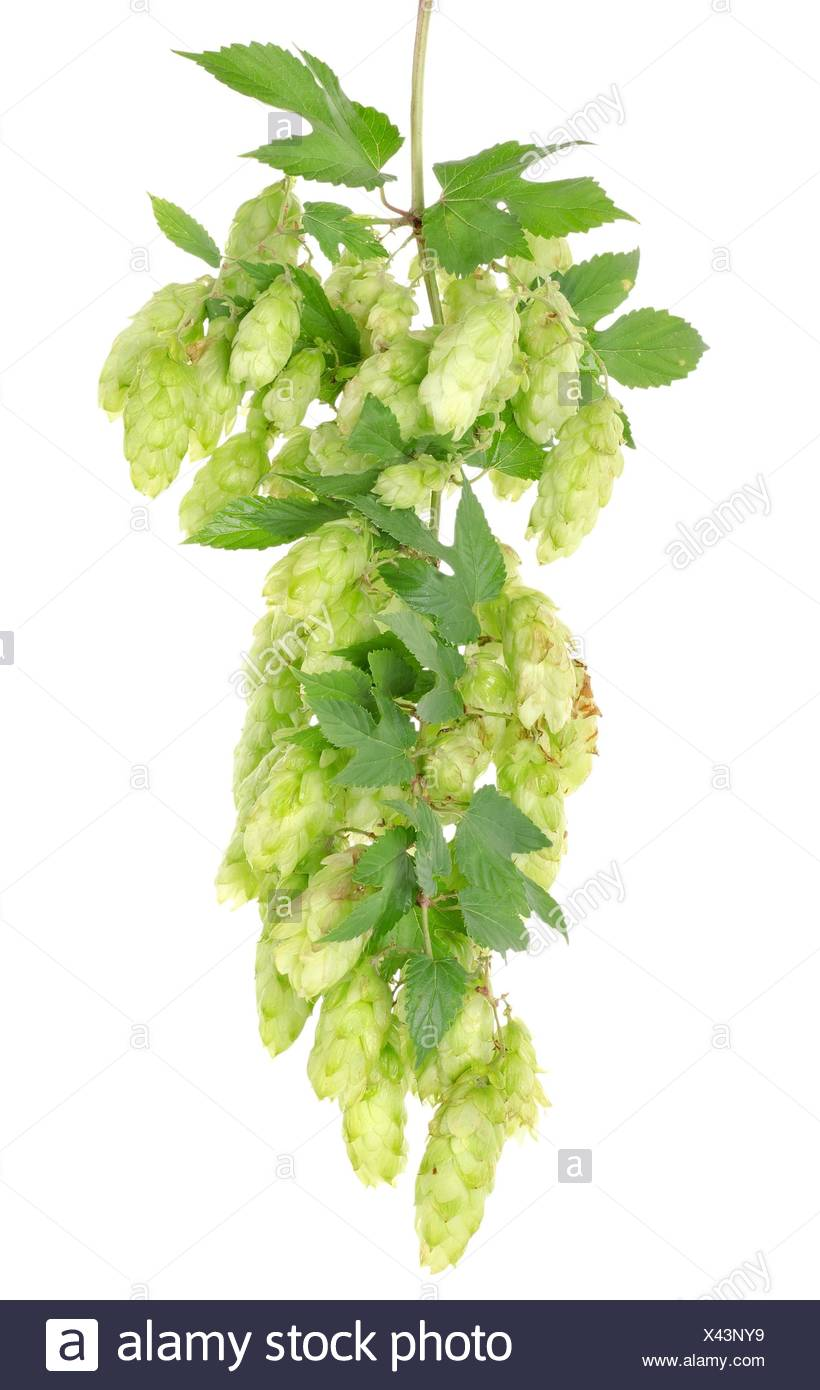 Cluster of hops with leafs isolated on white background. - Stock Image