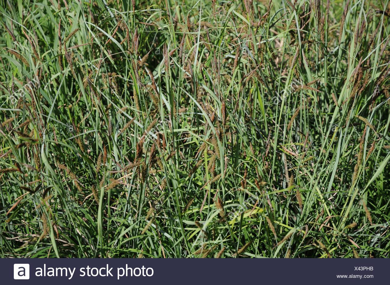 Gray Carex - Stock Image