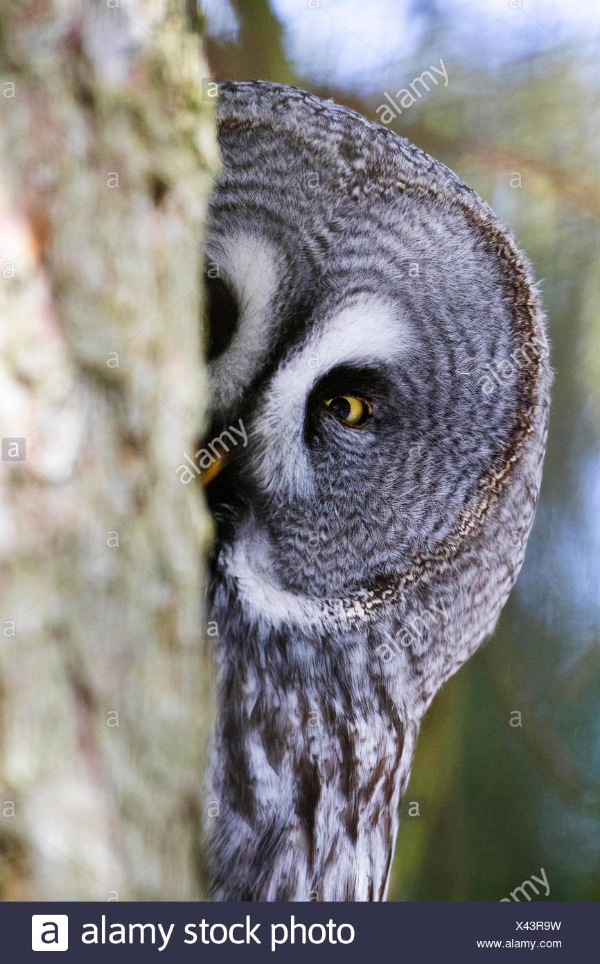 great grey owl (Strix nebulosa), looking out behind a tree trunk, Sweden, Orsa Finnmark - Stock Image