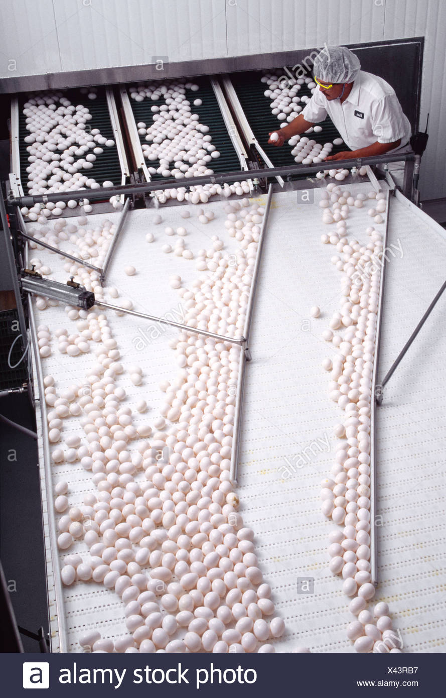 Agriculture - A worker inspects fresh eggs on a conveyor line at an egg packing plant / Minnesota, USA. - Stock Image