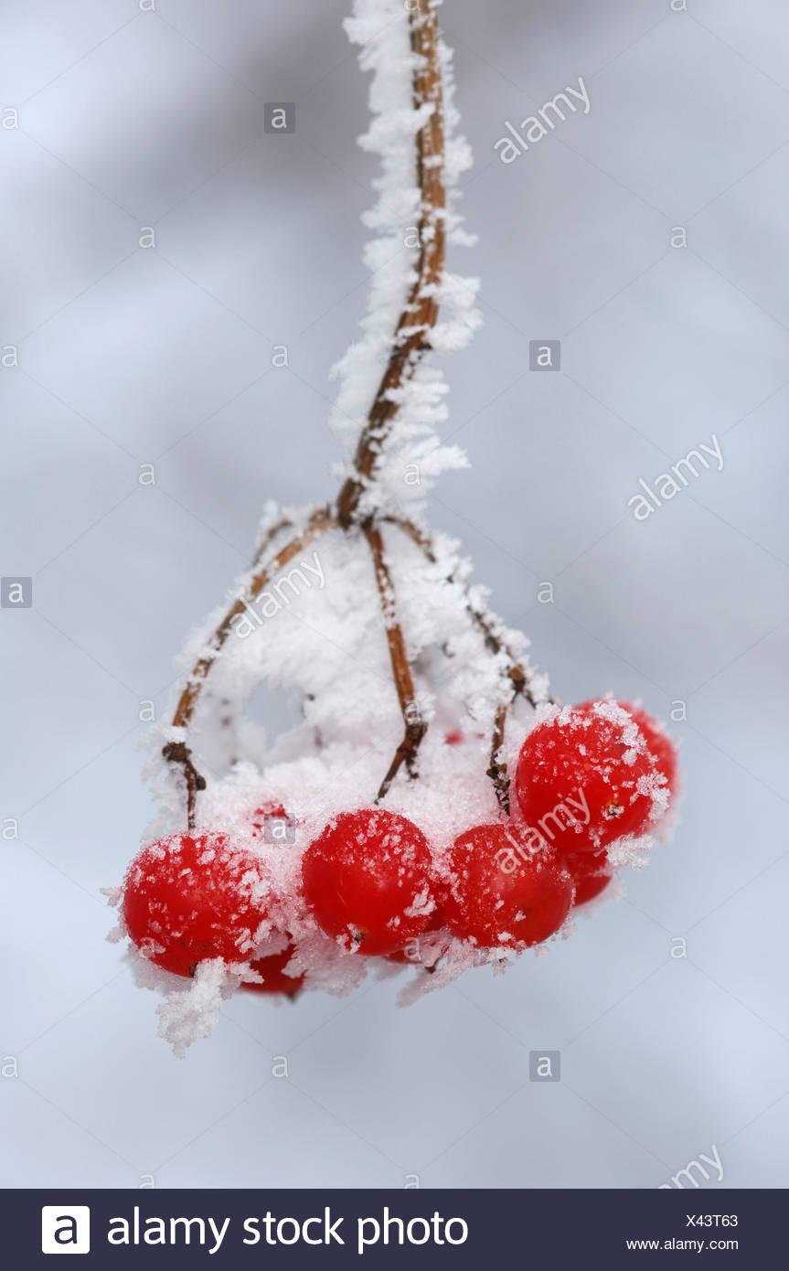 Frost-covered European Rowan (Sorbus aucuparia) fruit Stock Photo