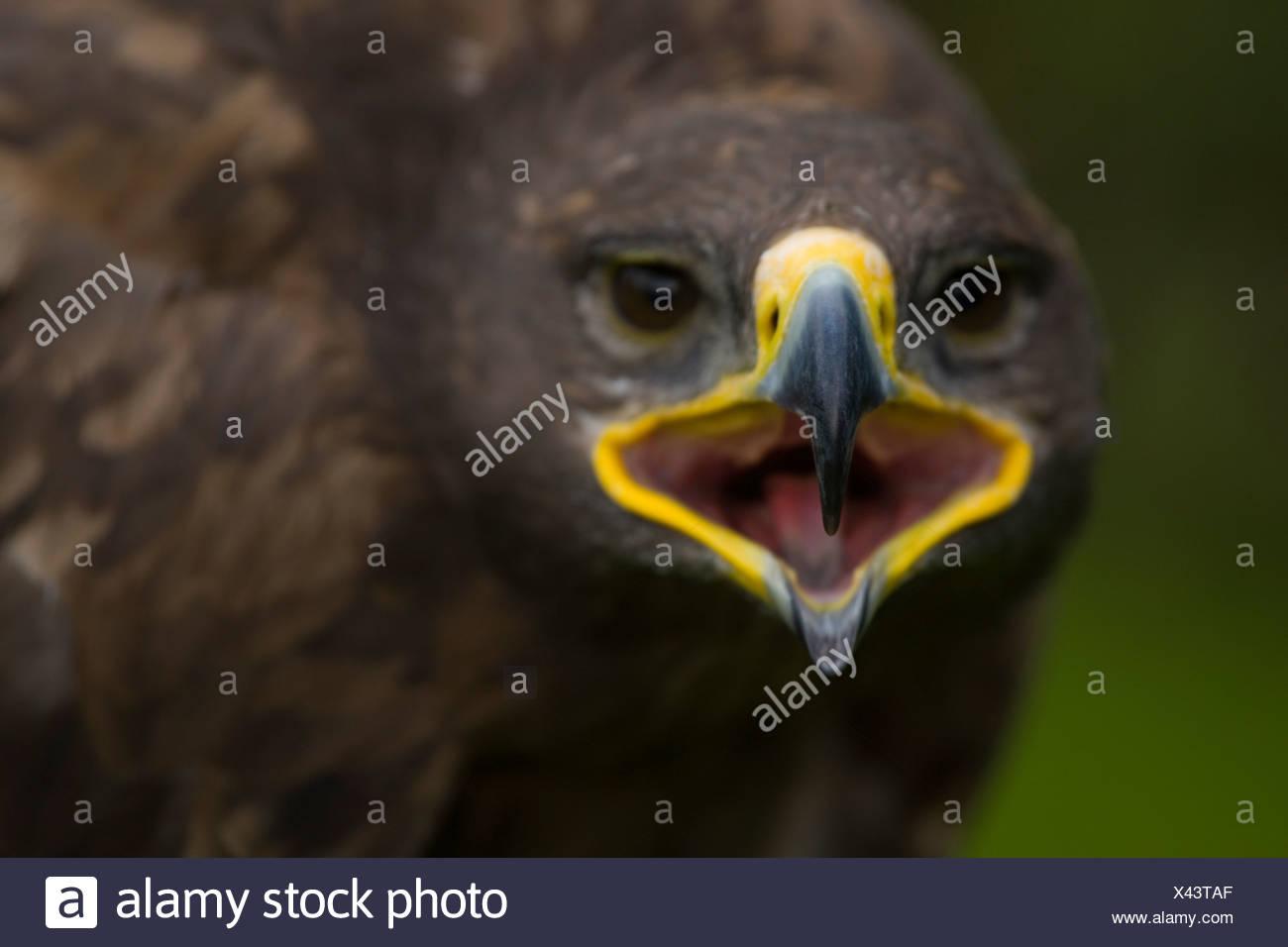 Steppe Eagle (Aquila nipalenis) Captive Stock Photo
