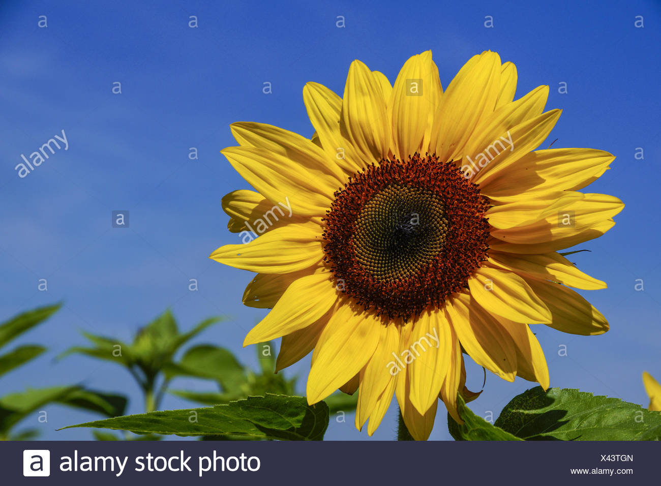 Sonnenblume, Helianthus annuus, Sonnenblumenfeld, Sunflower, sunflower field, Day, Sunny, Nobody, Bright, Agriculture, No People - Stock Image