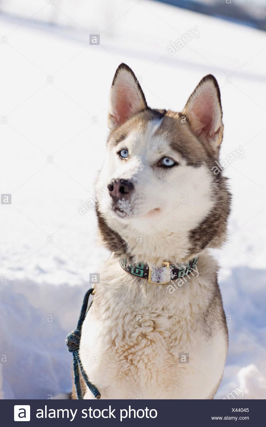 Siberian husky - Stock Image