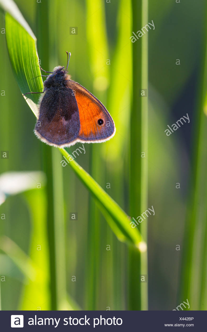 Small heath (butterfly) - Stock Image