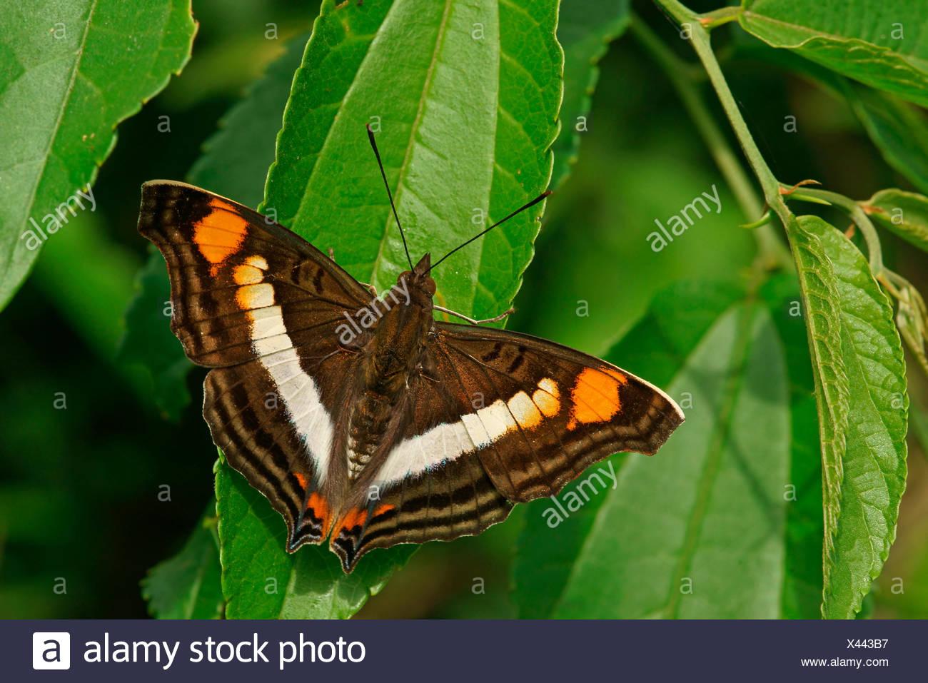 Nymphalidae (Nymphidae) Tropical butterfly (Doxocopa linda), Iguazú National Park, Paraná, Brazil - Stock Image