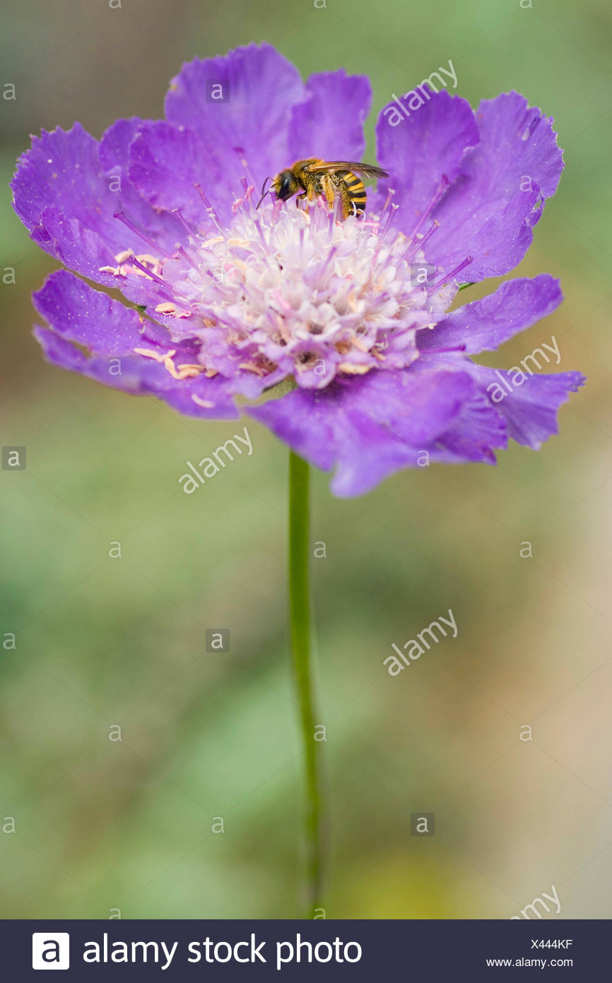 Pincushion Flower (Scabiosa caucasica), inflorescence with bee, Germany - Stock Image