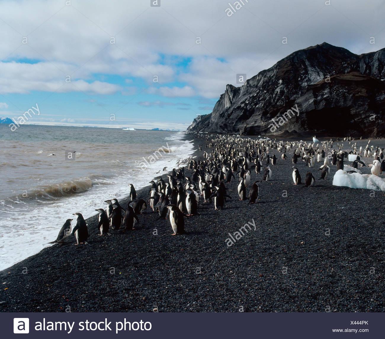 Bearded Penguin  - Stock Image