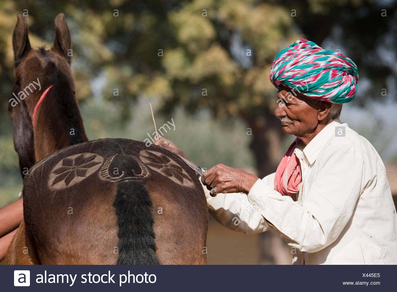 Marwari Horse. Old man clipping decorative patterns into the fur of a horse. Rajasthan, India - Stock Image