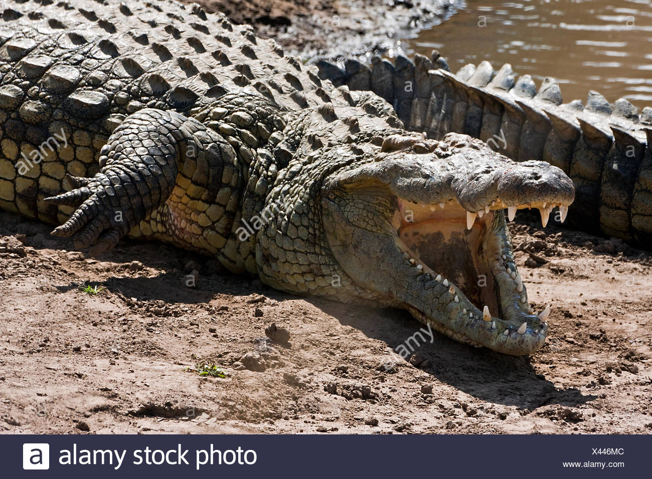 crocodile with open mouth - Stock Image