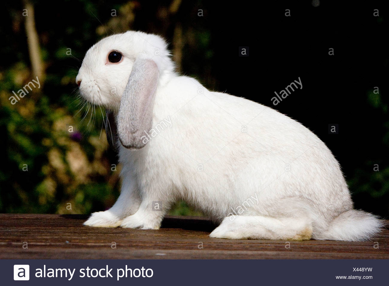 English Lop, rabbit breed, Siam yellow - Stock Image