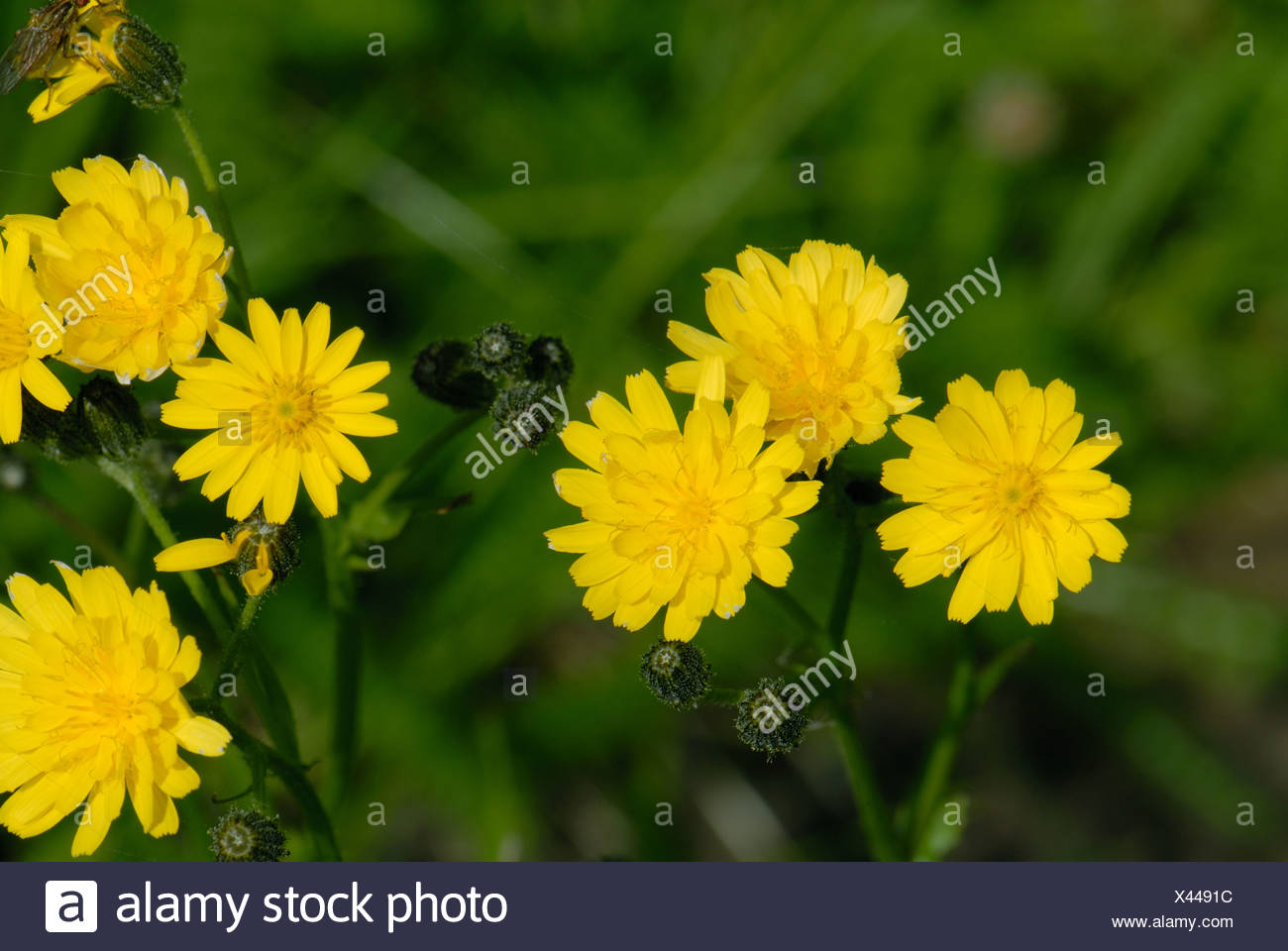 Smooth Hawksbeard Crepis Capillaris Yellow Flowers On Grassland Weed