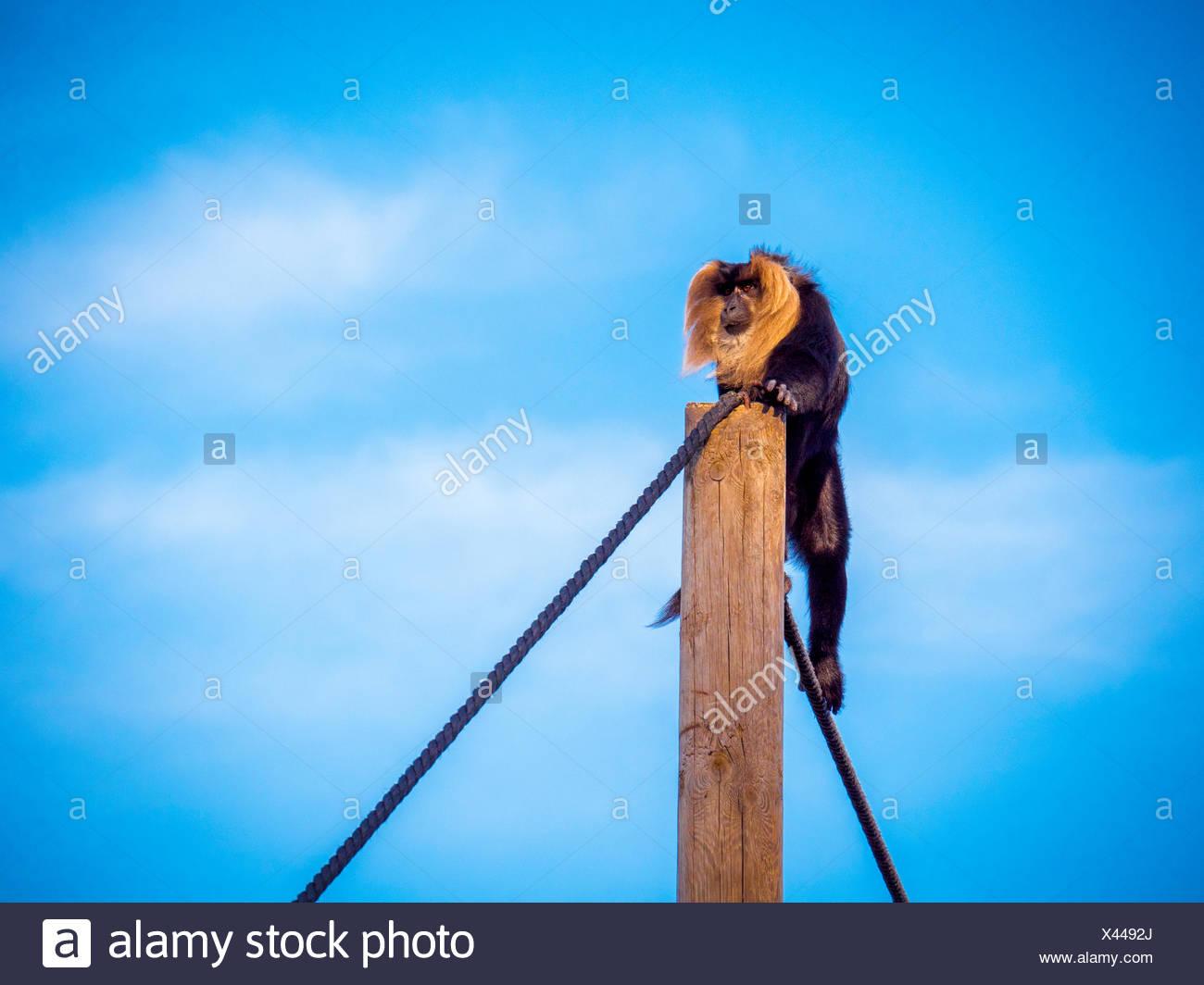 Monkey Climbing Wooden Post - Stock Image