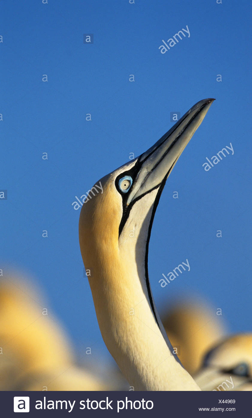 Cape gannet (Sula / Morus capensis) head. Lamberts bay, South Africa. - Stock Image
