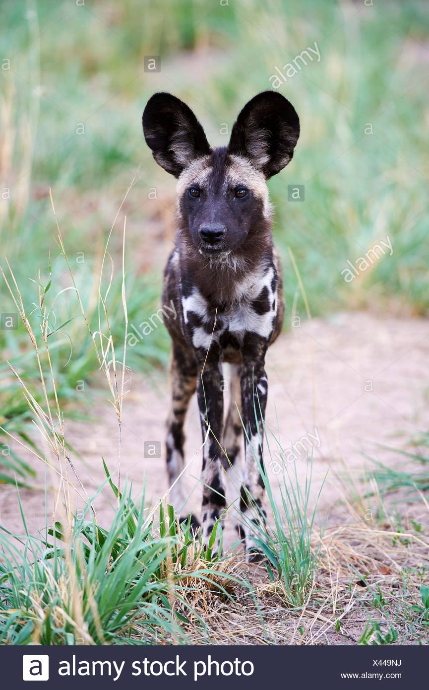 African wild dog portrait (Lycaon pictus) Hwange National Park, Zimbabwe. - Stock Image