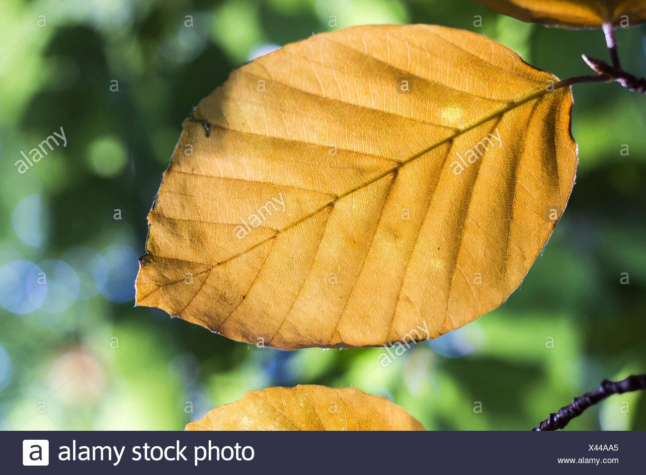 Brown Leaf - Stock Image