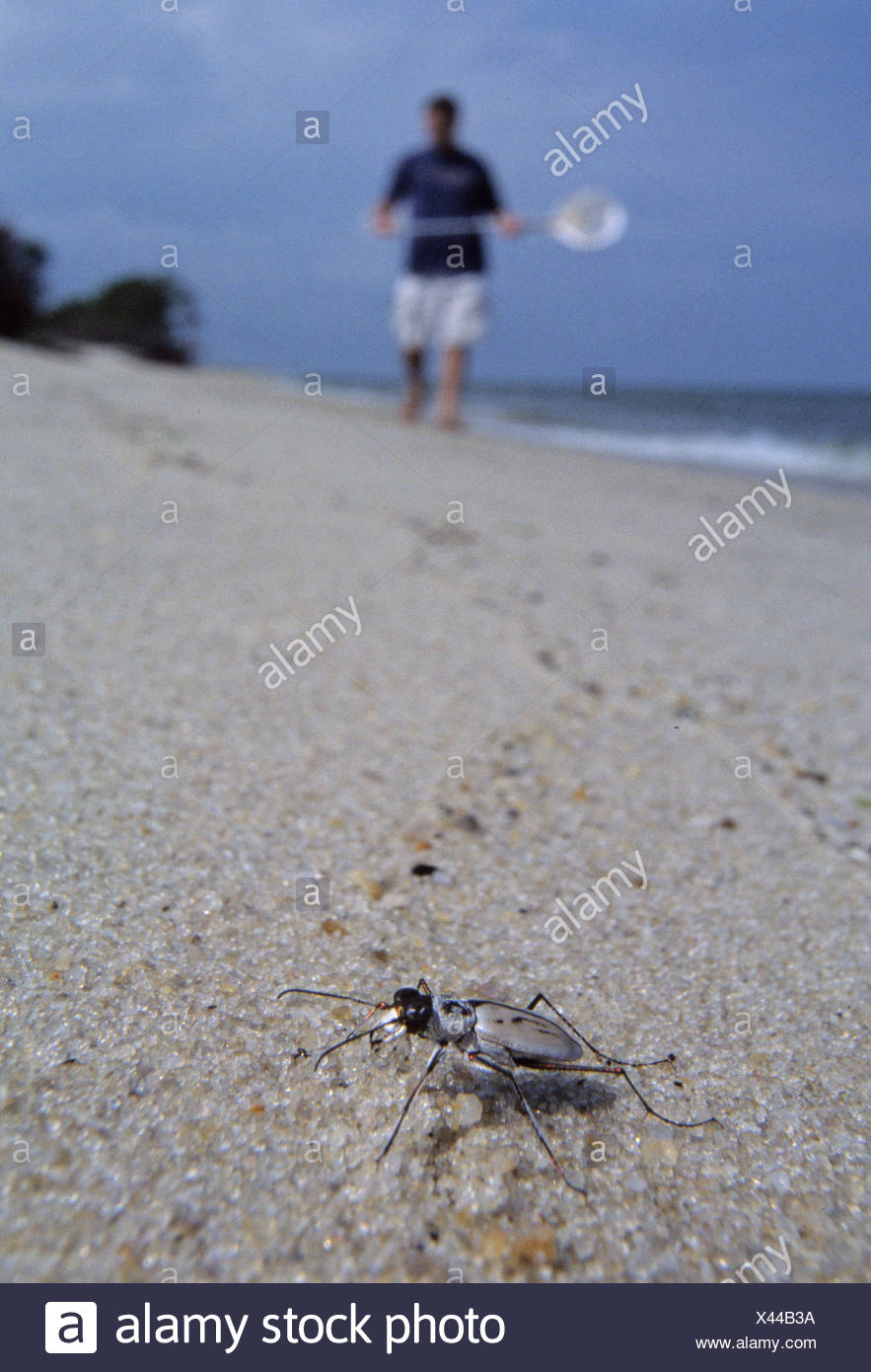 Endangered Tiger Beetle on the beach in Virginia. - Stock Image