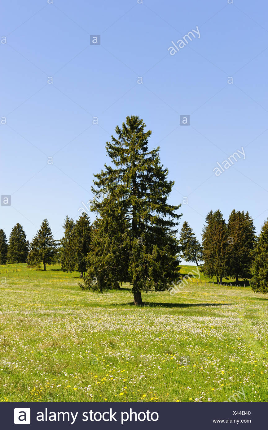 Germany, Bavaria, east Allgäu, spruces, - Stock Image