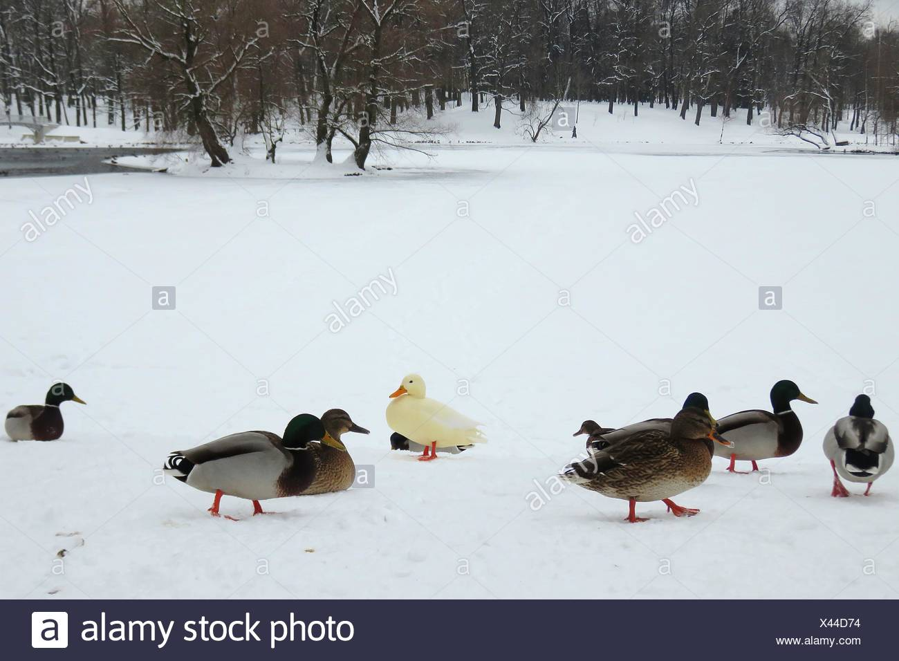 Flock Of Mallard Ducks On Snowcovered Landscape - Stock Image