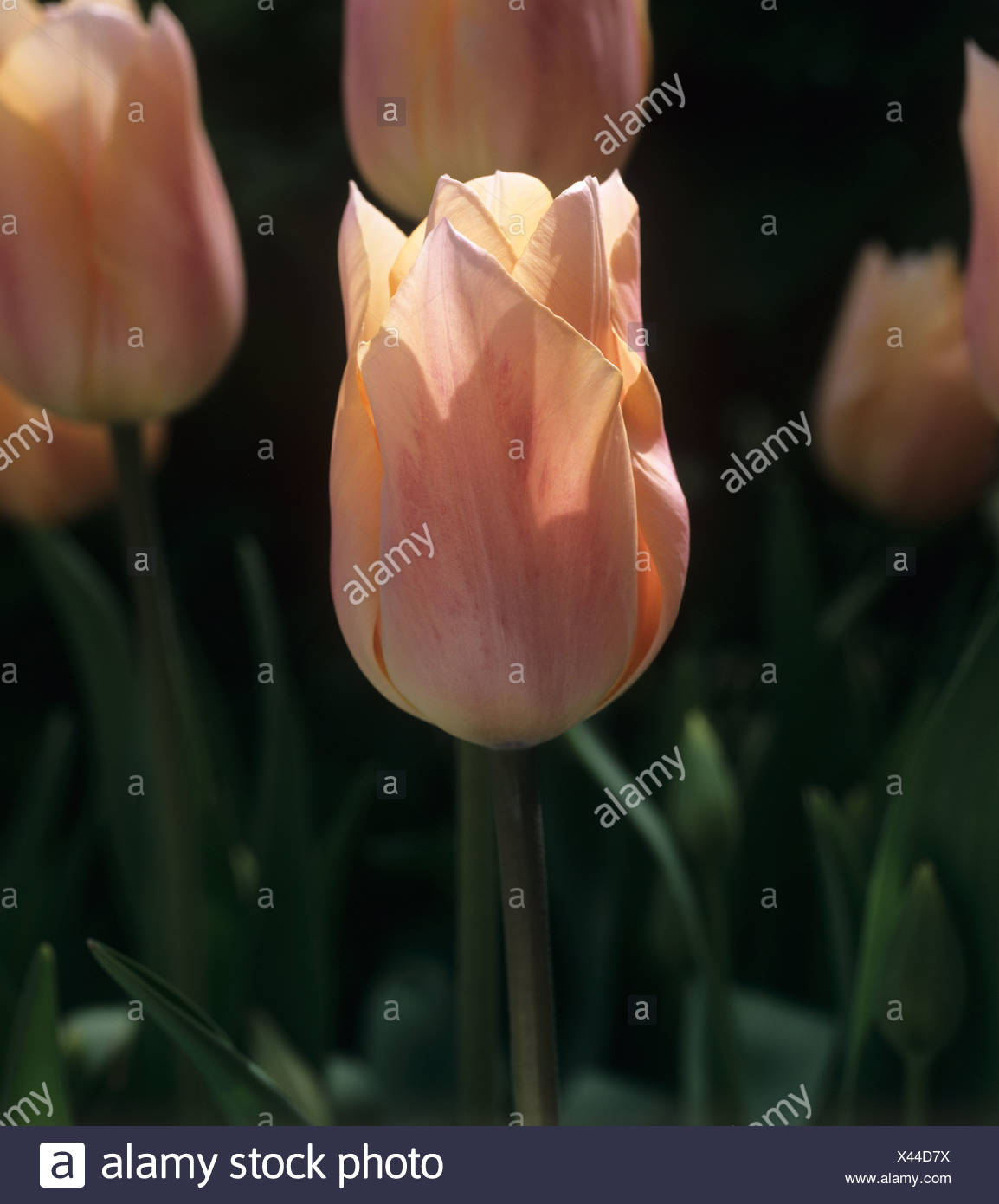 Flowers of tulip Apricot Beauty a division 4 tulip - Stock Image
