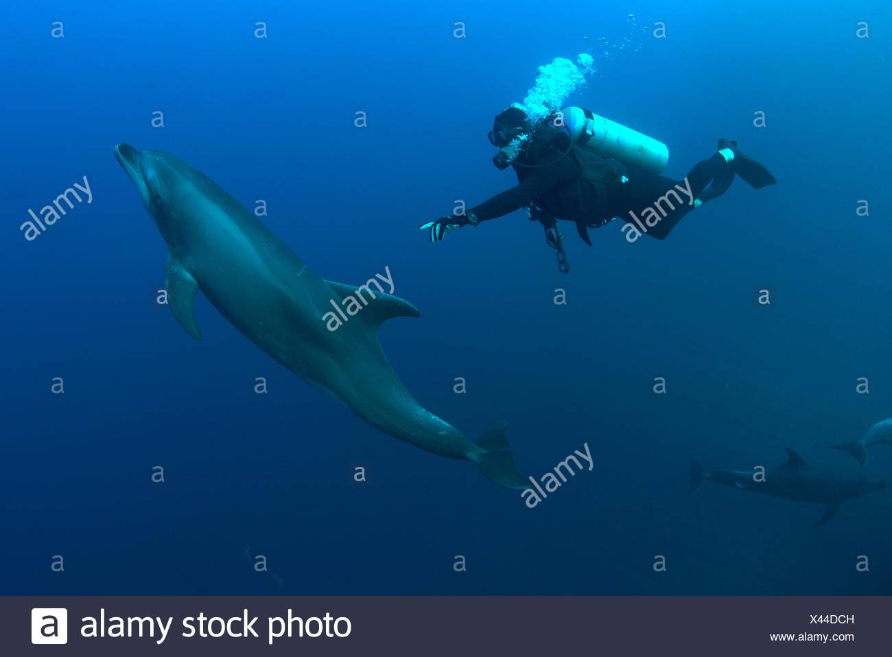 Underwater view of diver reaching for bottlenose dolphin, Revillagigedo Islands, Colima, Mexico - Stock Image