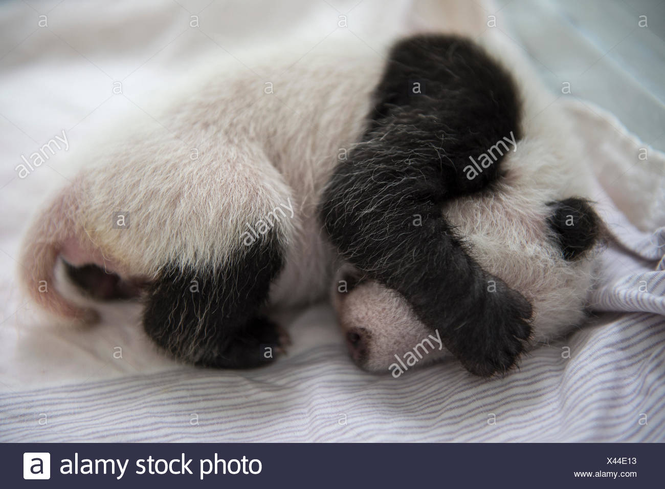 A giant panda cub that is only weeks old sleeps inside an incubator at the Bifengxia Giant Panda Breeding and Research Center. - Stock Image