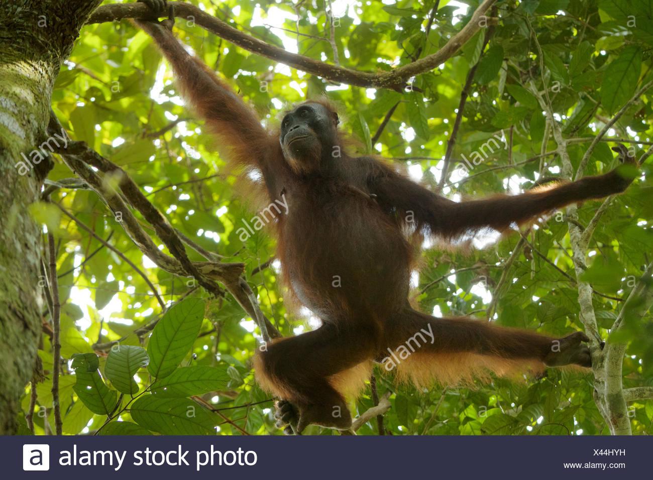 A female Bornean orangutan, Pongo pygmaeus wurmbii, climbing trees in Gunung Palung National Park. - Stock Image