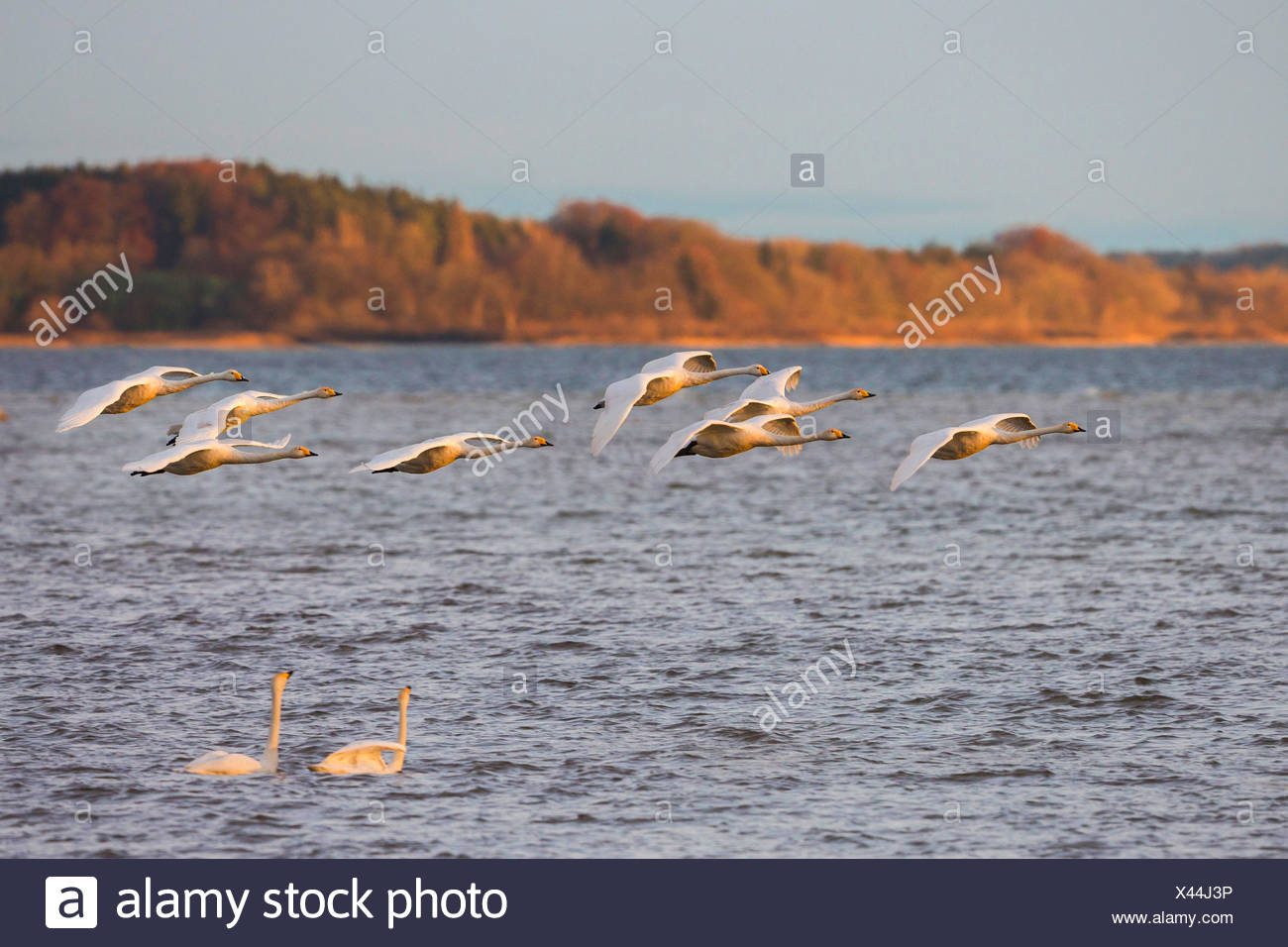 whooper swan (Cygnus cygnus), flock flying over a swimming couple in the evening light, Germany, Bavaria, Lake Chiemsee Stock Photo