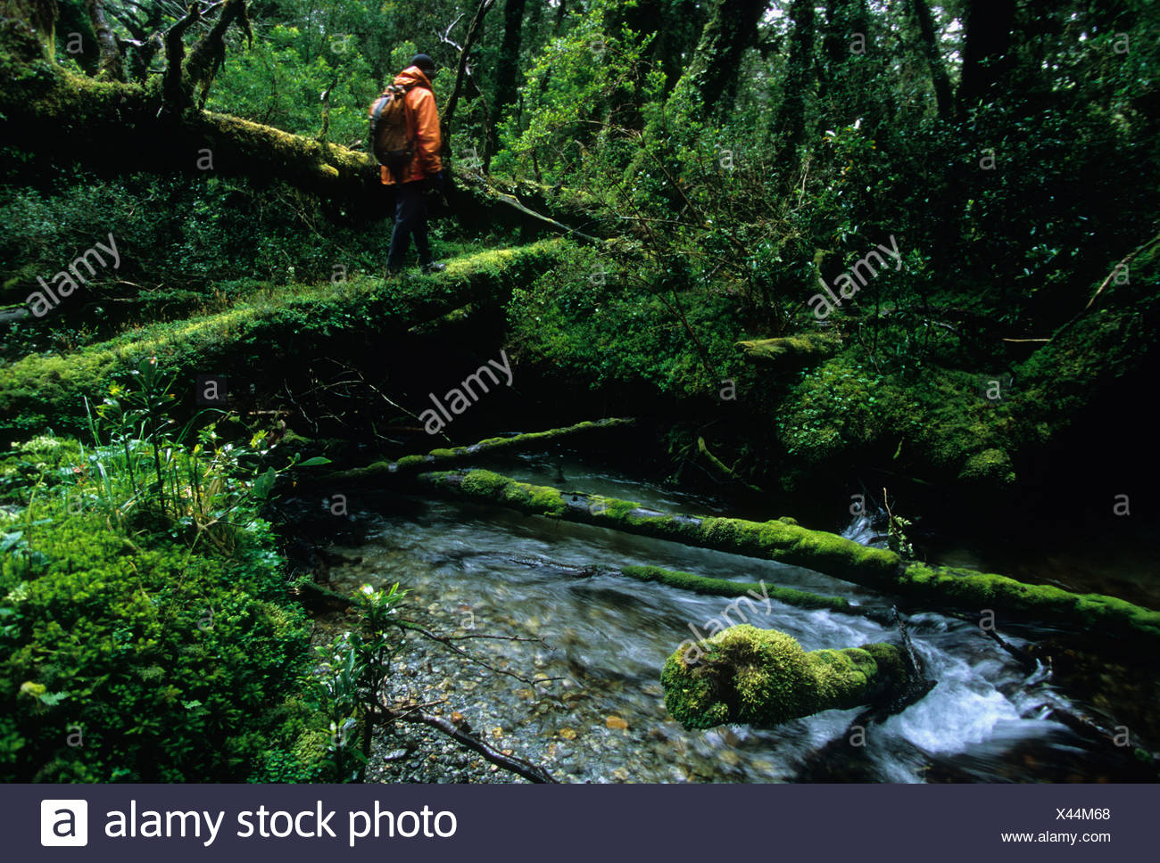 A man hikes across moss-covered log over a stream in Queulat National Park Chile - Stock Image