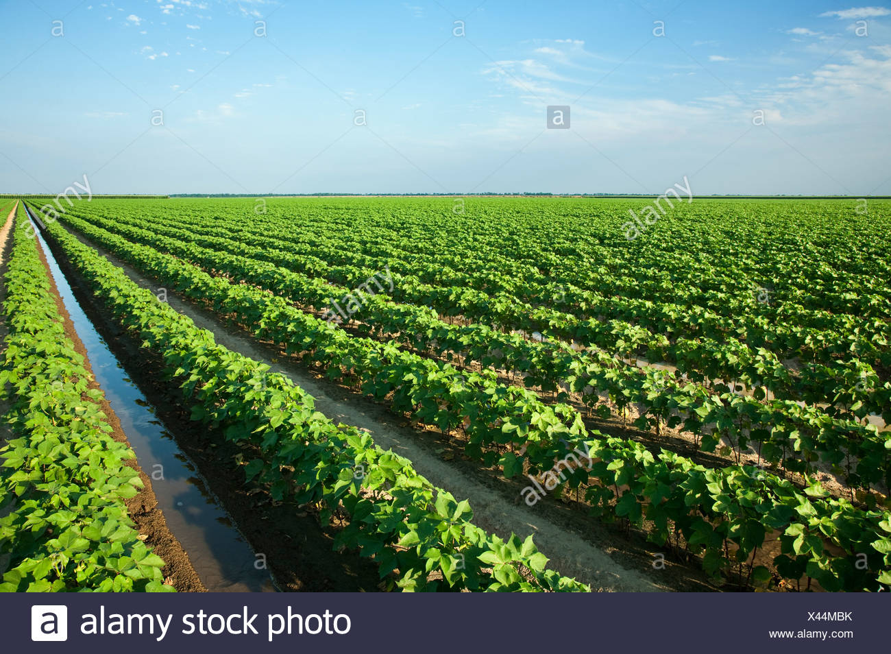 Agriculture - Large field of mid growth cotton being furrow irrigated / near England, Arkansas, USA. - Stock Image