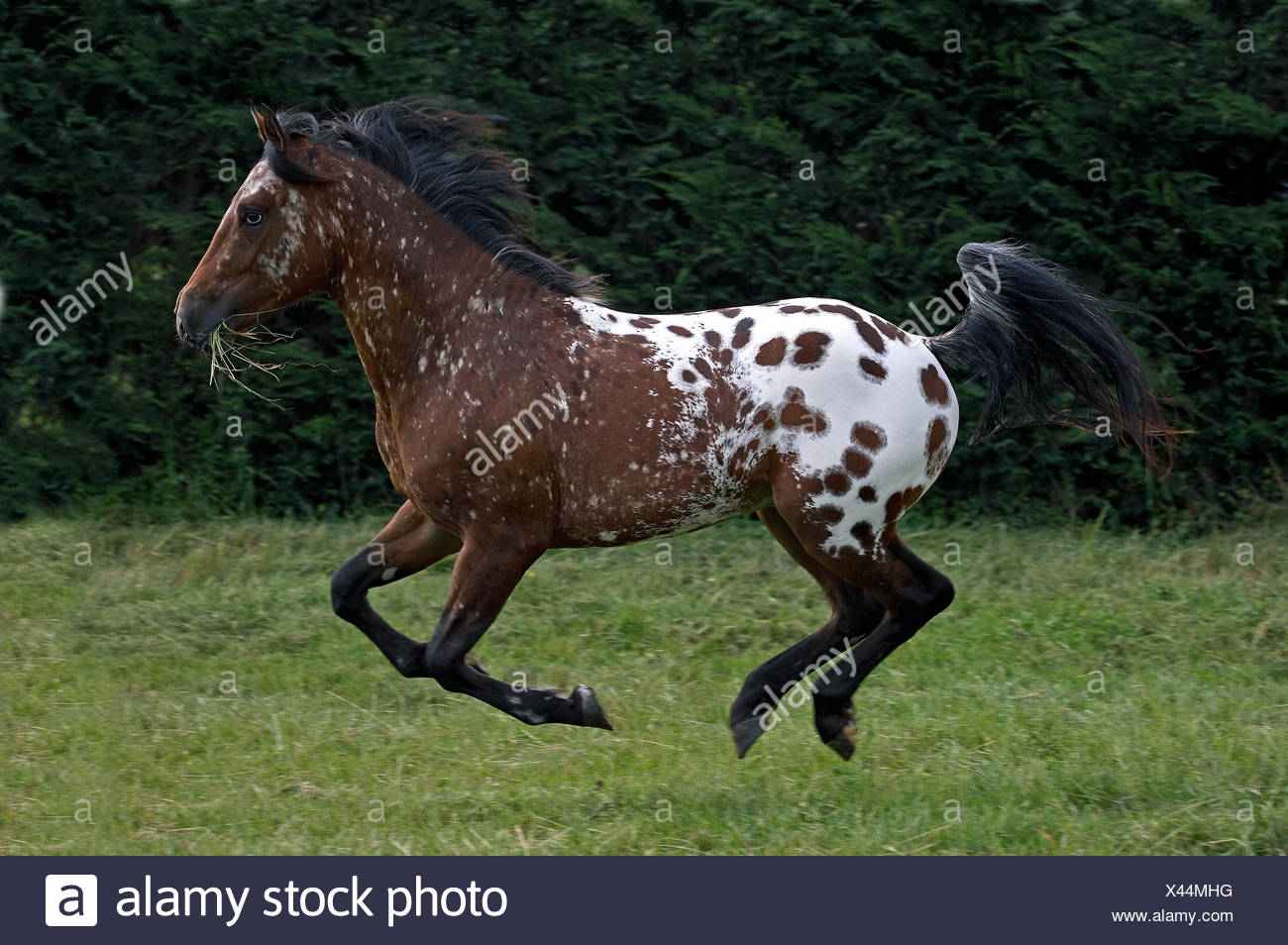 Appaloosa Horse, Adult Galloping through Meadow Stock Photo