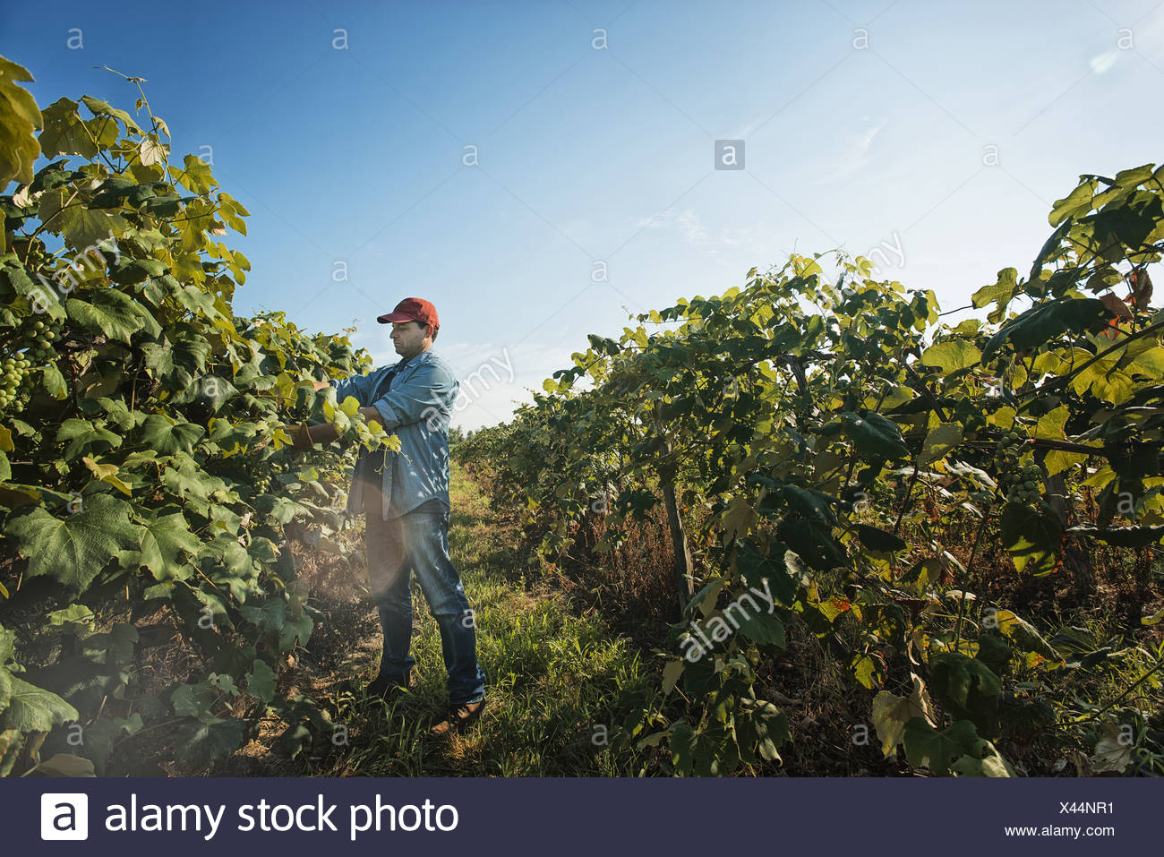 New York state USA man grape vines vineyard pruning tying shoots in - Stock Image