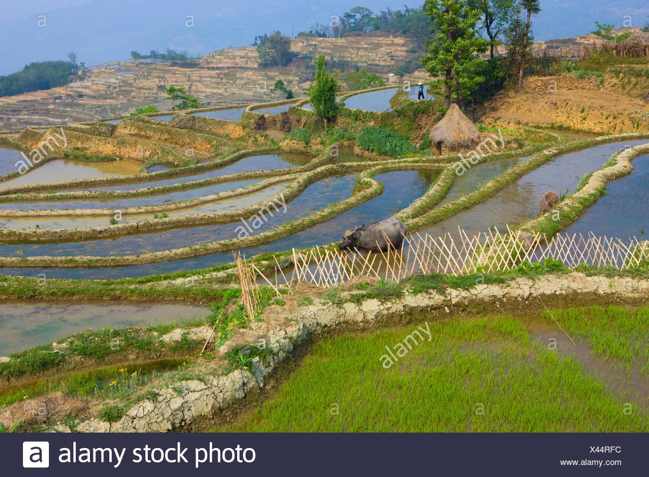 Yuanyang, China, Asia, rice terraces, growing of rice, rice fields, agriculture, water, trees, spring, water buffalo - Stock Image