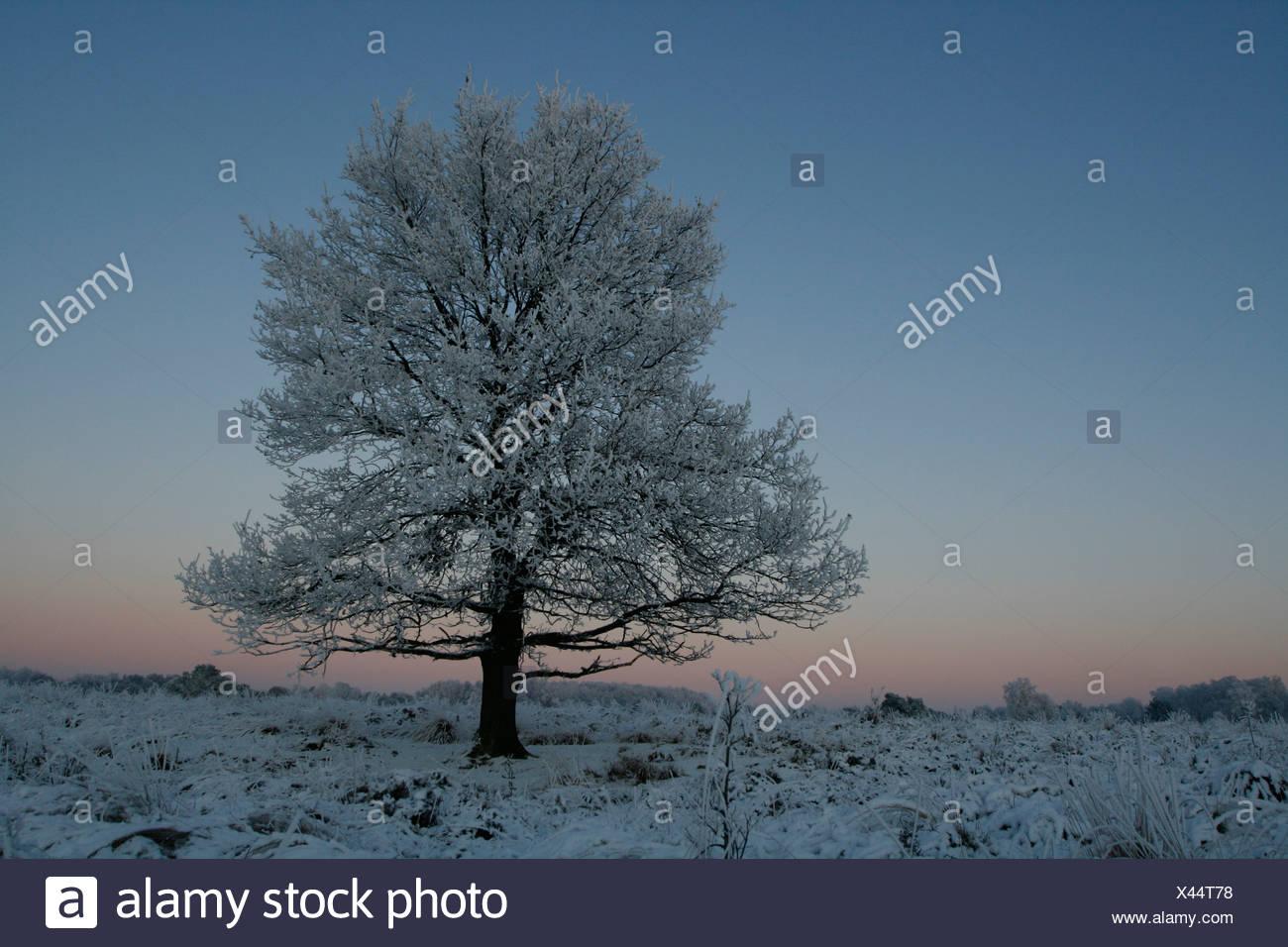 solitaire zomereik met rijp in winters landschap bij zonsopgang; solitary oak with rime in winter landscape at sunrise - Stock Image