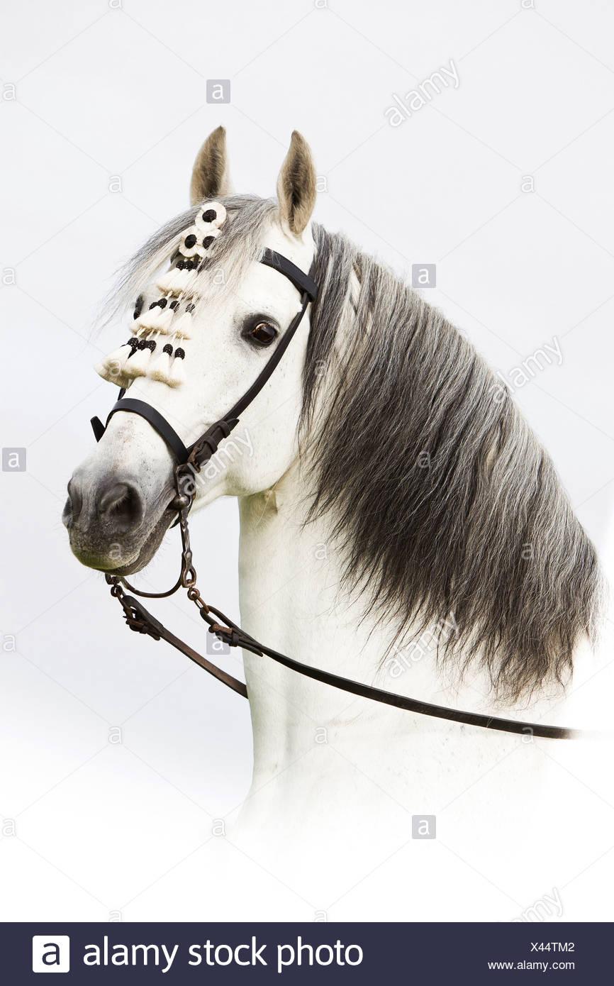 Pure Spanish-bred horse - portrait - Stock Image