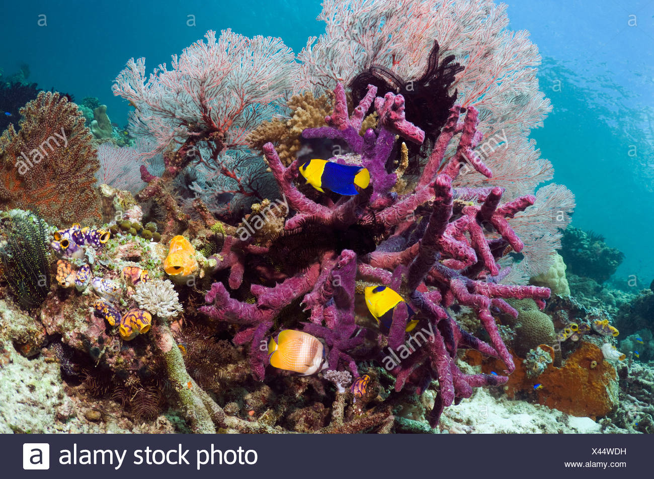 Bicolor angelfish, Klein's butterflyfish with gorgonian and purple encrusting sponge, Misool, West Papua, Indonesia Stock Photo