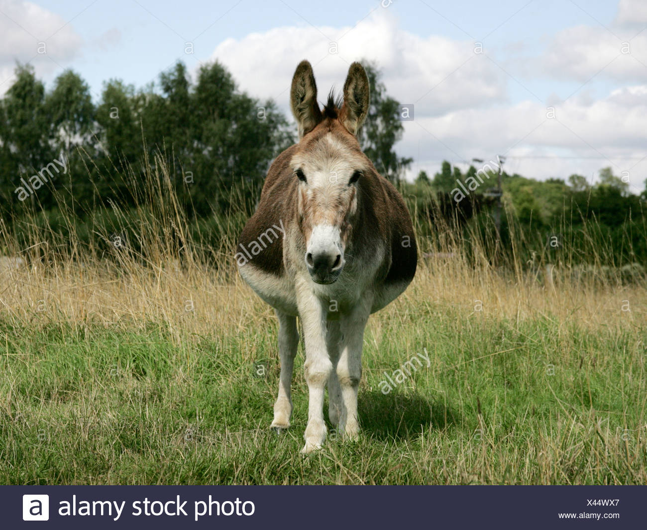 a large fat overweight donkey stock photo 277932655 alamy