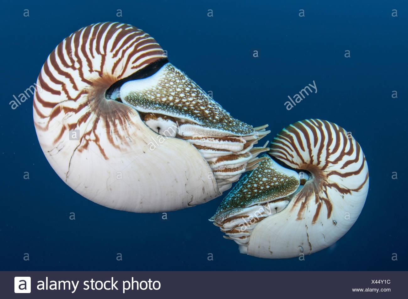 Nautilus, Palau (Nautilus belauensis) - Stock Image