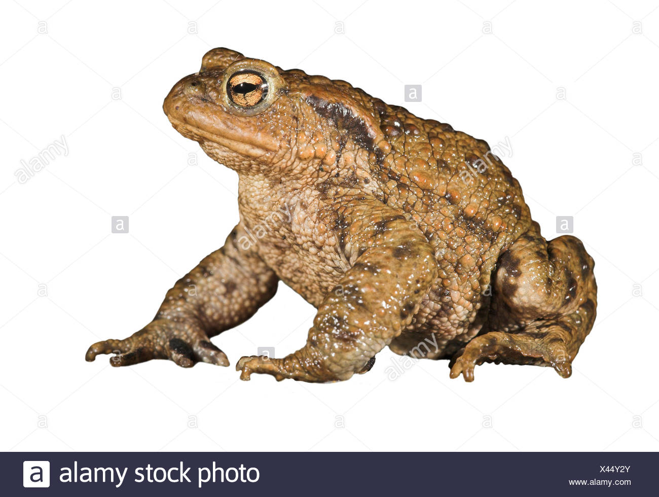 common toad against white background - Stock Image