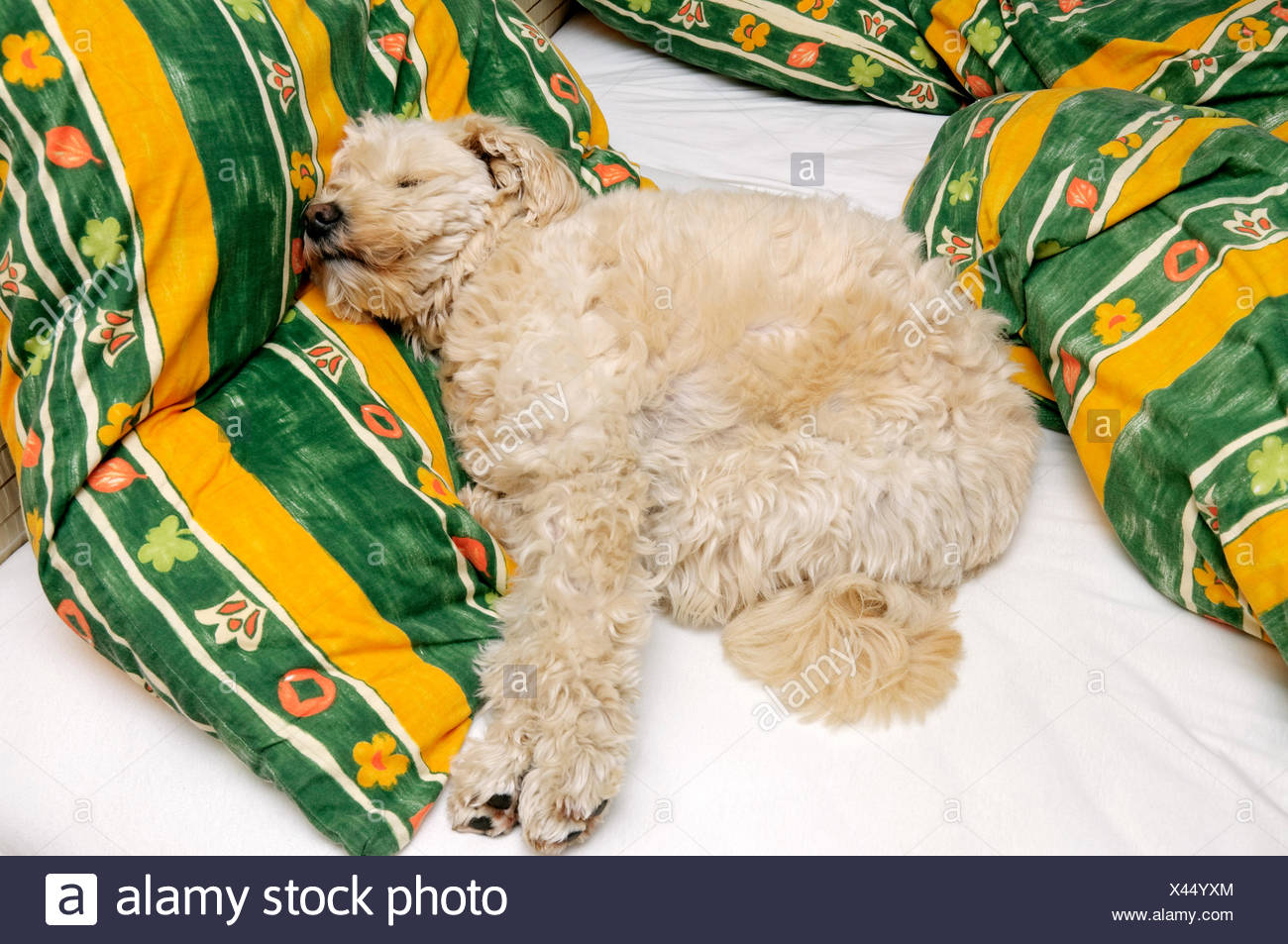 Small beige pet terrier dog sleeping on owner's bed - Stock Image