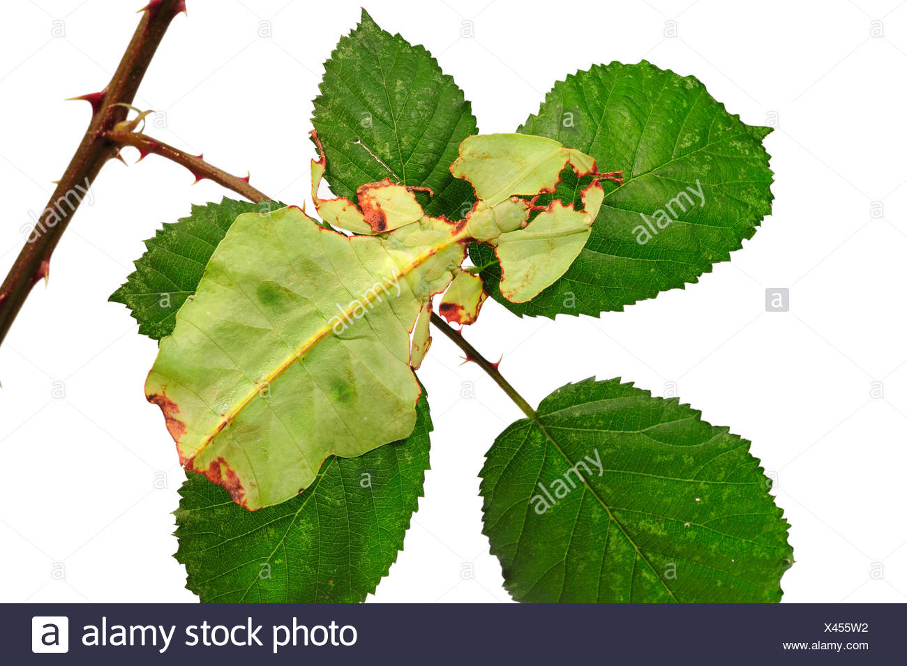 Celebes Leaf Insect, leaf insect, walking leave (Phyllium celebicum), female on blackberry leaf, cut out Stock Photo