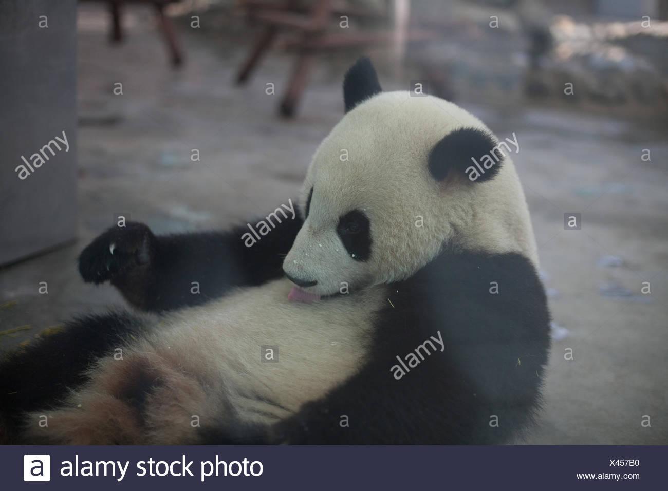 Close Up Of Panda Bear - Stock Image