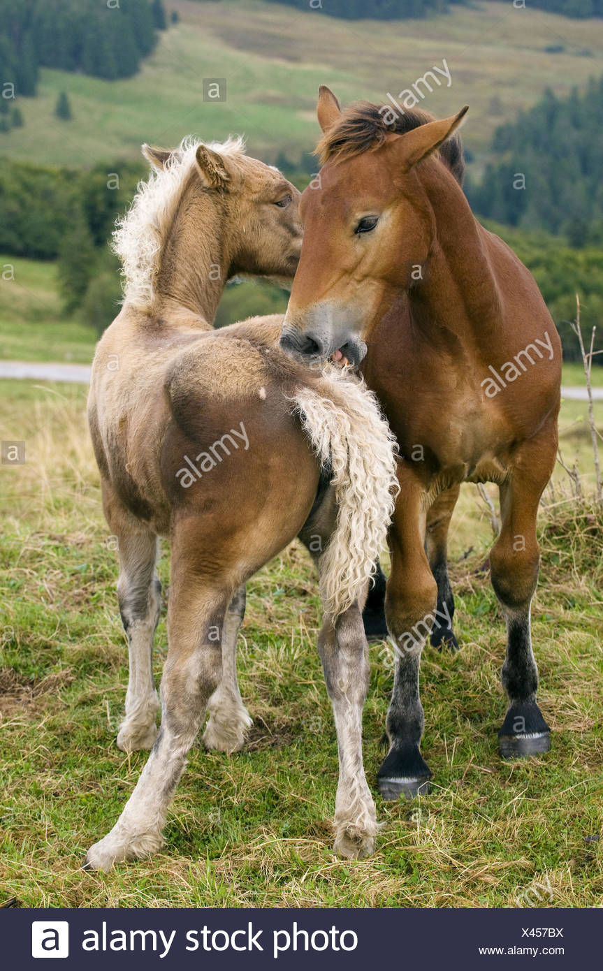 Haflinger horses, playing and mutual grooming, Vosges mountains near Hohneck, Alsace, France - Stock Image
